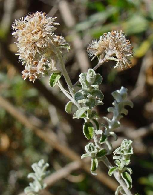 Plecostachys serpyllifolia