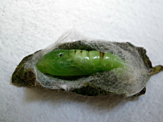 CalPhotos: Trichoplusia ni