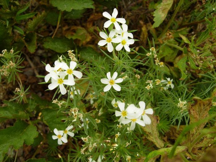 Leptosiphon nuttallii ssp. nuttallii