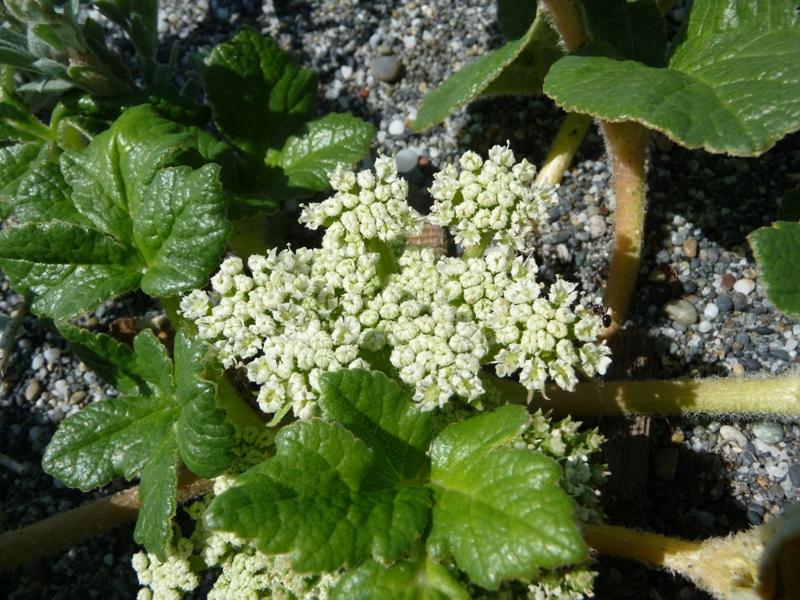 Glehnia littoralis ssp. leiocarpa