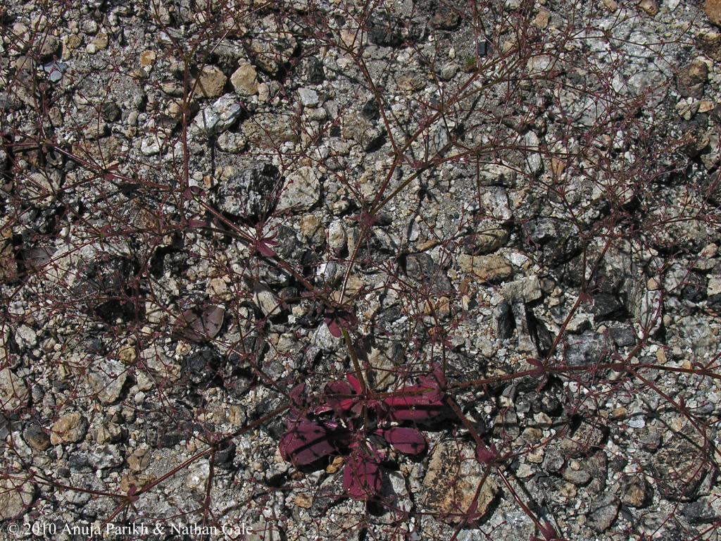 Eriogonum hirtiflorum