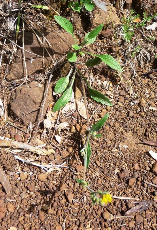 Arnica spathulata