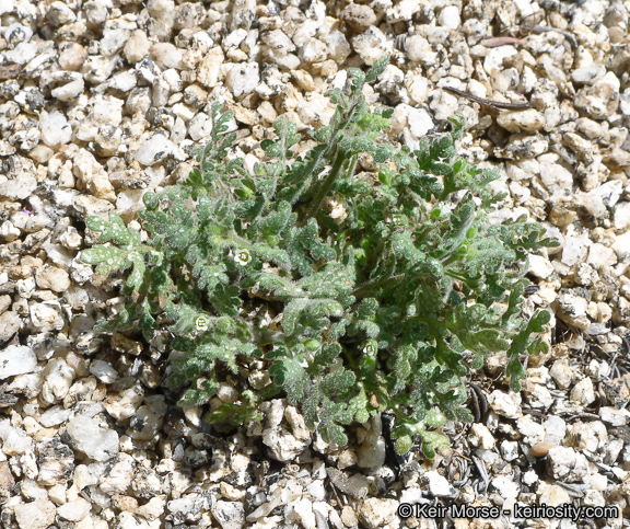 Eucrypta chrysanthemifolia var. bipinnatifida