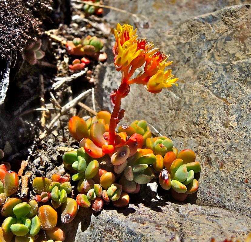 Sedum obtusatum ssp. obtusatum