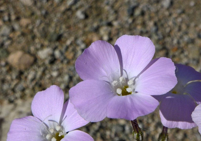 Gilia cana ssp. bernardina