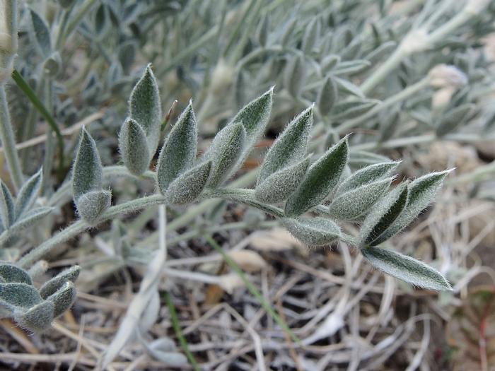 Astragalus austiniae