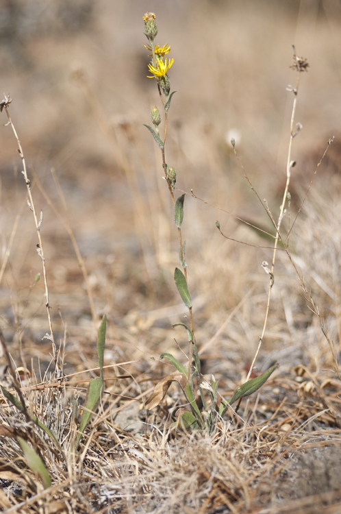 Pyrrocoma racemosa var. pinetorum