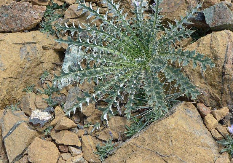 Cirsium scariosum var. americanum