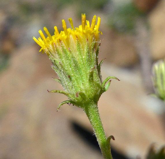 Erigeron petrophilus var. viscidulus