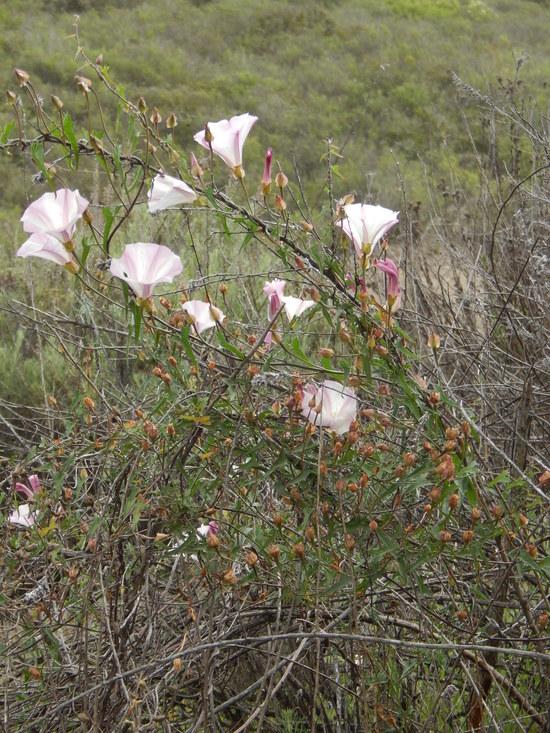 Calystegia macrostegia ssp. cyclostegia
