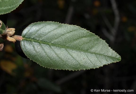 Frangula californica ssp. cuspidata