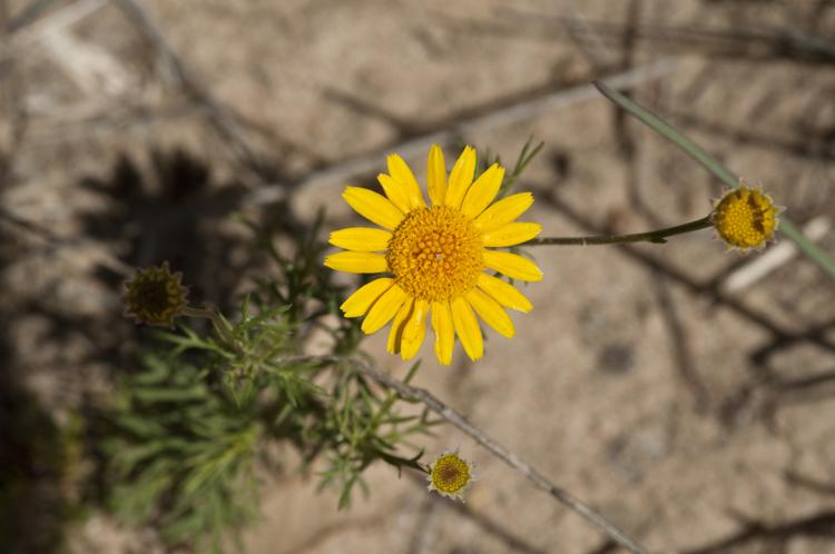 Thymophylla tenuiloba var. tenuiloba