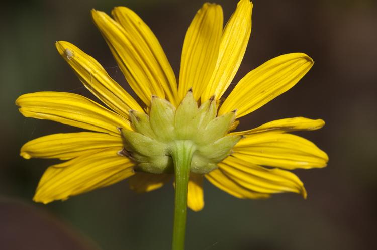 Euryops pectinatus