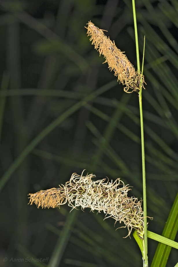 Carex barbarae