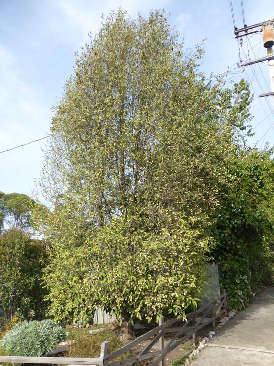 Lagunaria patersonia