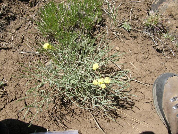 Lomatium bicolor