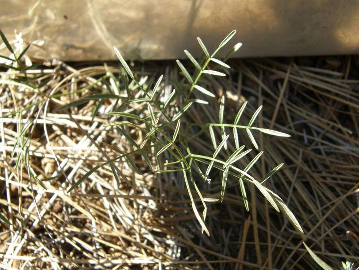 Astragalus inversus