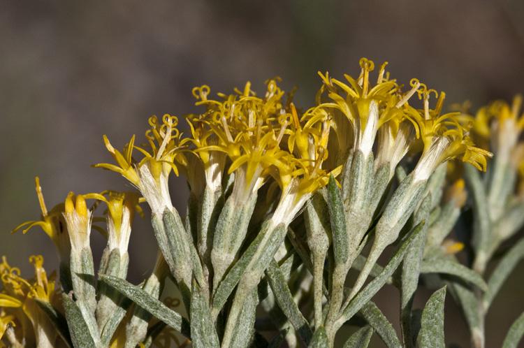 Tetradymia Canescens