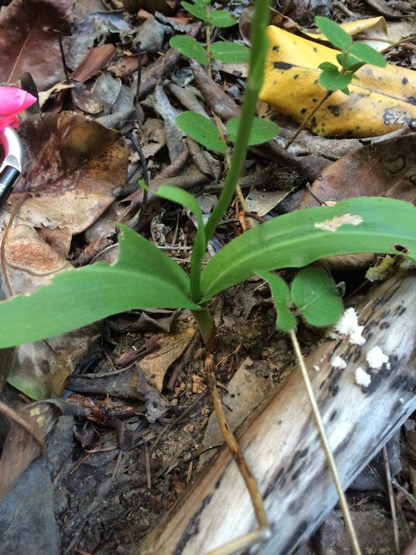 Piperia candida