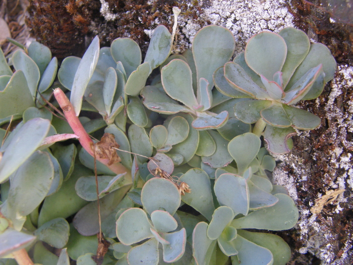 Sedum paradisum ssp. paradisum