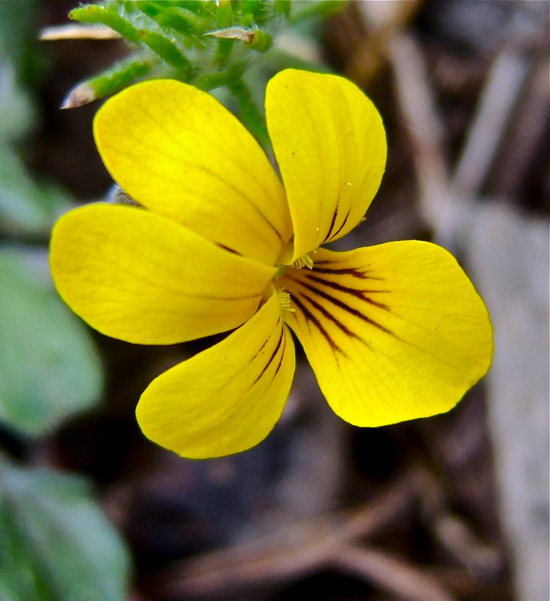 Viola pinetorum