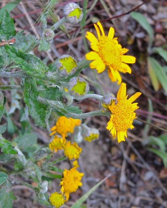 Eriophyllum lanatum var. croceum