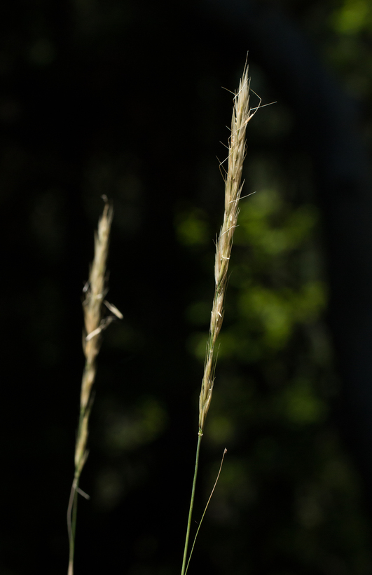 Stipa stillmanii