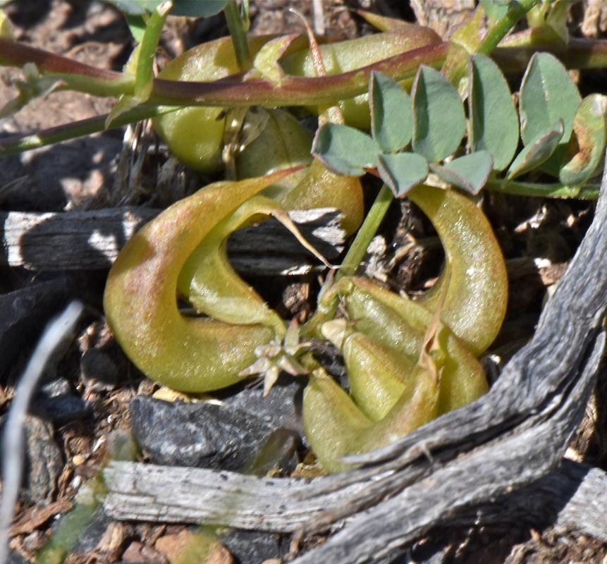 Astragalus geyeri