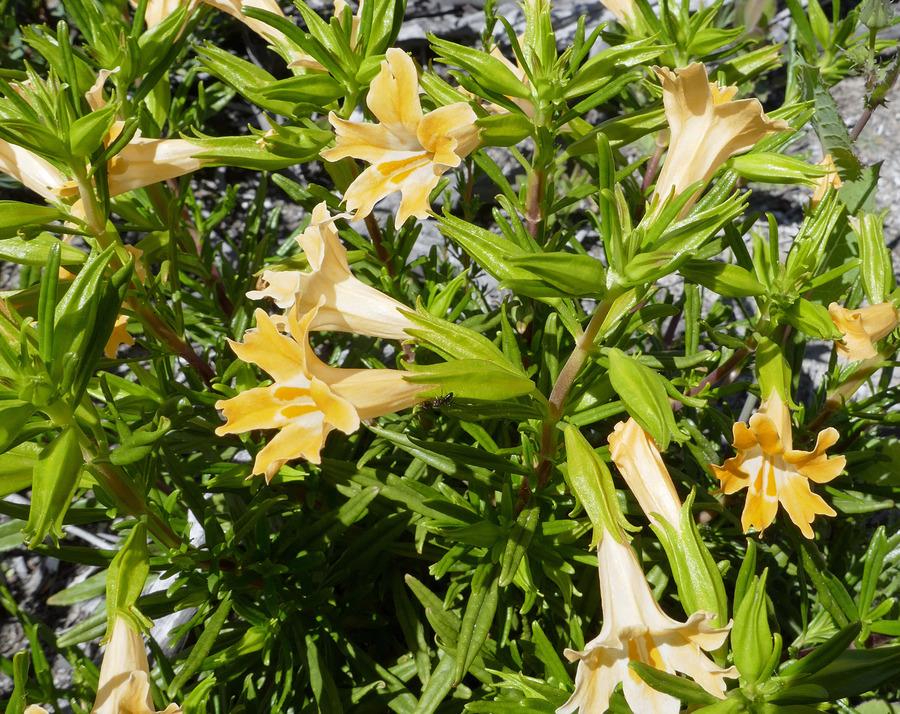 Diplacus speciosus