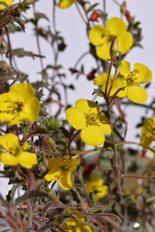 Camissonia campestris ssp. obispoensis