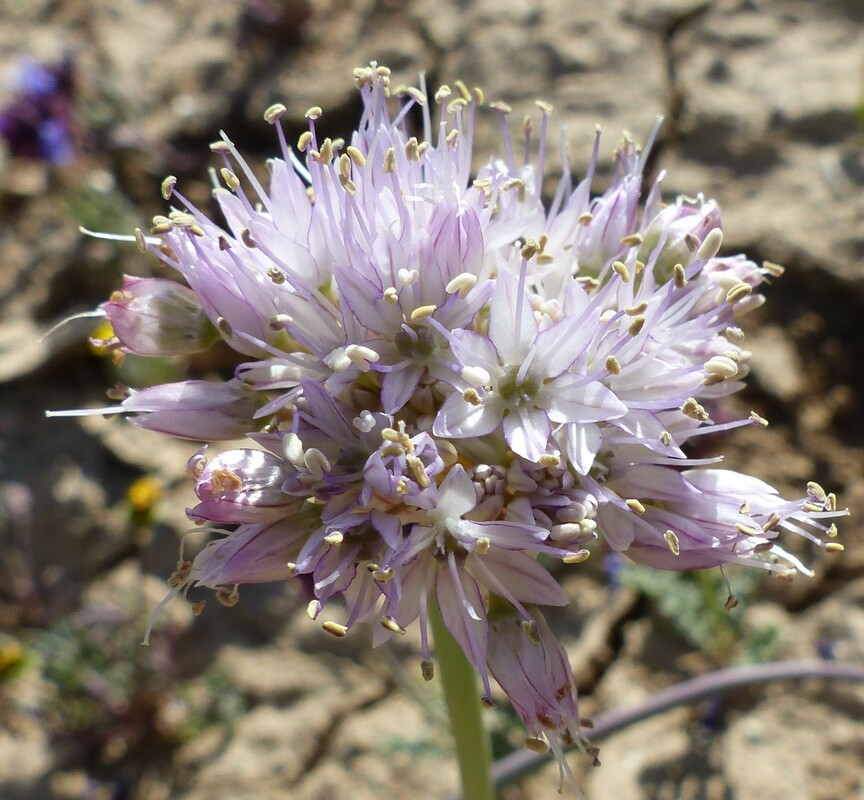 Allium howellii var. sanbenitense
