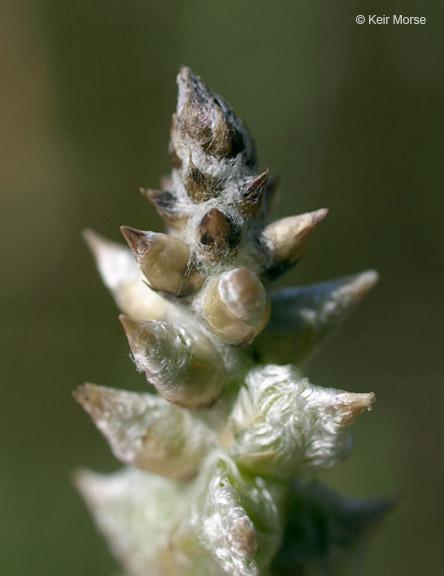 Froelichia gracilis