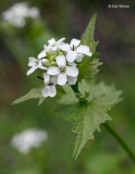 Alliaria petiolata