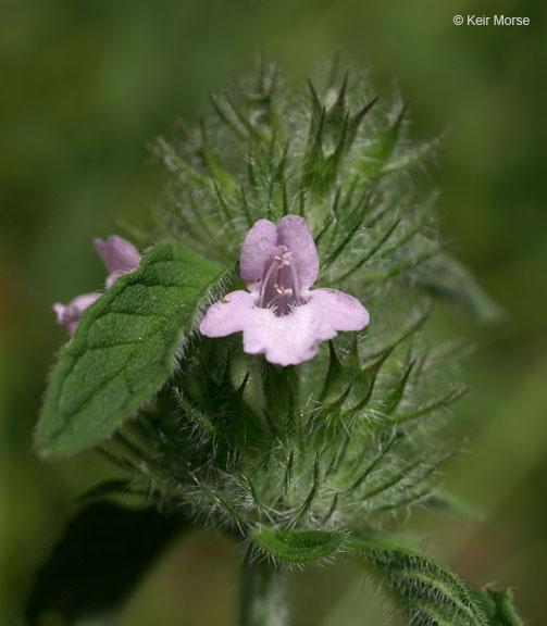 Clinopodium vulgare