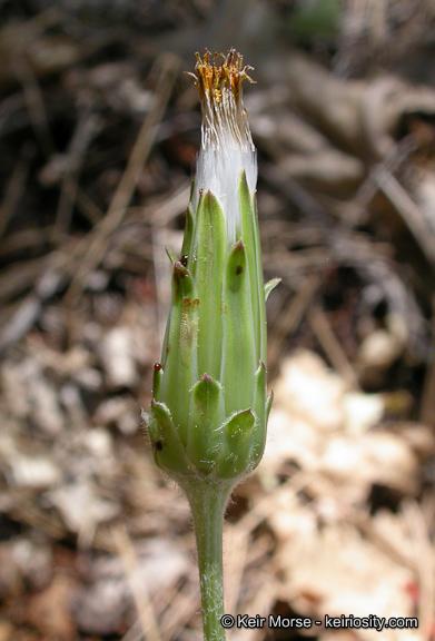Agoseris grandiflora var. leptophylla