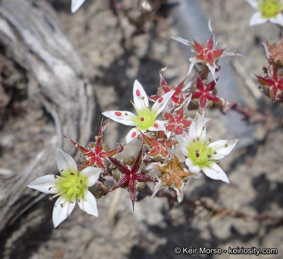 Dudleya blochmaniae ssp. blochmaniae