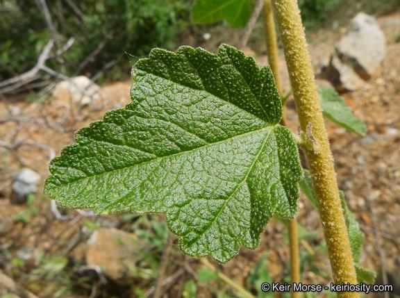 Malacothamnus fasciculatus var. fasciculatus