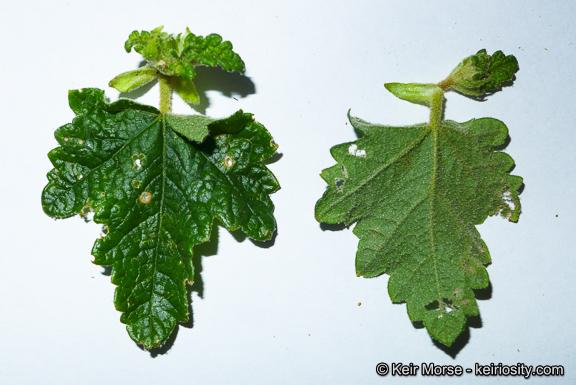 Malacothamnus involucratus