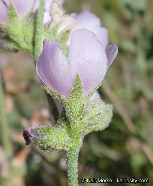 Malacothamnus orbiculatus