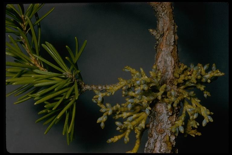 Arceuthobium americanum