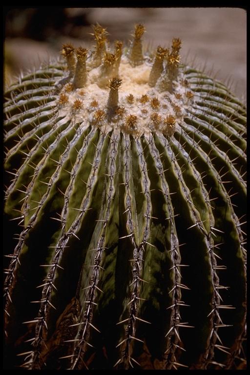 Echinocactus platyacanthus image