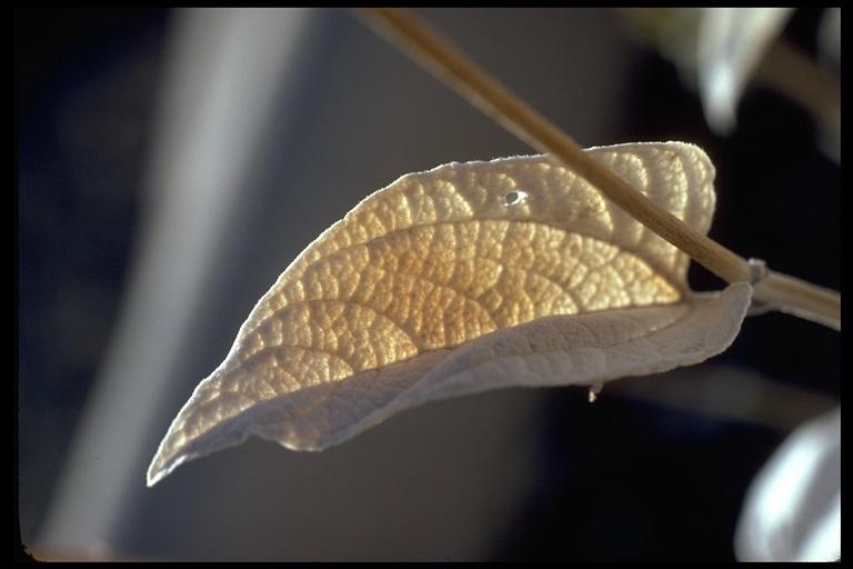 Viguiera reticulata