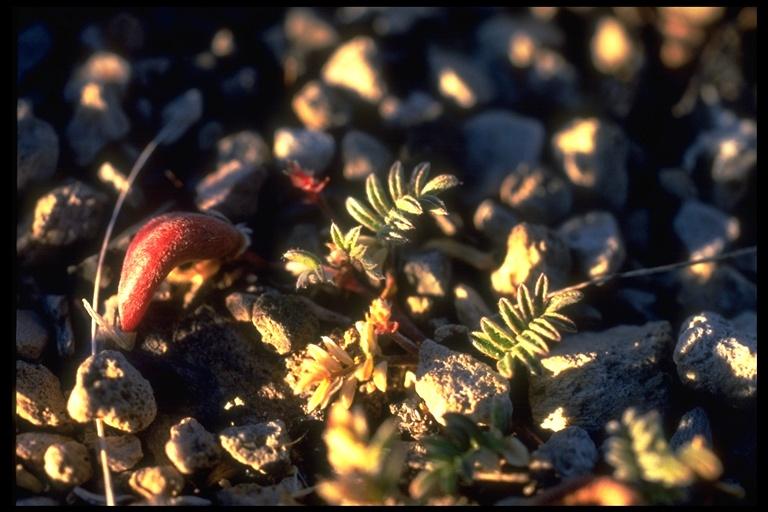 Astragalus monoensis