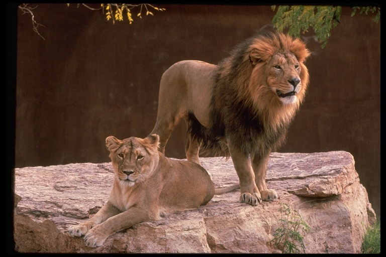 Panthera leo persica - photo#11
