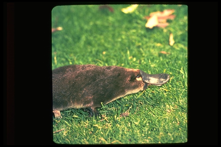 Ornithorhynchus Anatinus Duckbill Platypus