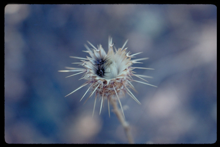 Centaurea sulphurea image