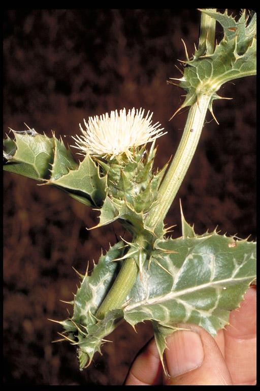 Carduus tenuiflorus