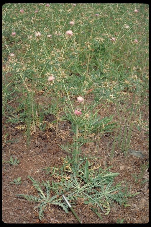 Centaurea iberica