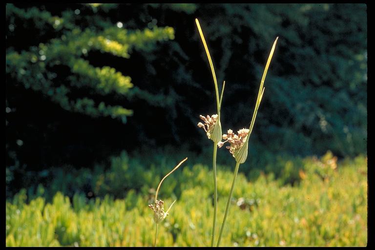Allium paniculatum var. paniculatum