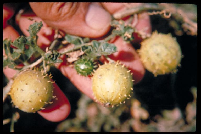 Cucumis myriocarpus